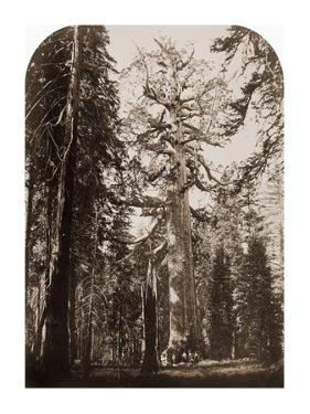 Grizzly Giant - 33 ft. diam. - Mariposa Grove, Yosemite, California, 1861 by Carleton Watkins