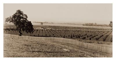 Young Orchard, Palermo, Butte County, California, 1888-1891