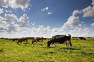 Cows Grazing in the Dutch Countryside Near the Town of Holysloot North of Amsterdam, Netherlands by Carlo Acenas