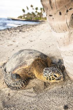 Hawaiian Sea Turtle Sun Drying under a Tree at the Beach at Mauna Lani Resort Near Kona Hawaii by Carlo Acenas