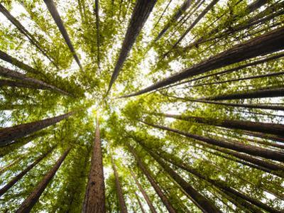 Redwood Trees in Mt. Tamalpais State Park, Adjacent to Muir Woods National Monument in California by Carlo Acenas