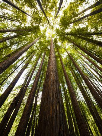 Trees in Mt. Tamalpais State Park, Adjacent to Muir Woods National Monument in California by Carlo Acenas