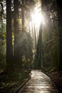 Wood Path in Muir Woods National Monument in California by Carlo Acenas