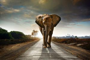 Single Elephant Walking in a Road with the Sun from Behind by Carlos Caetano