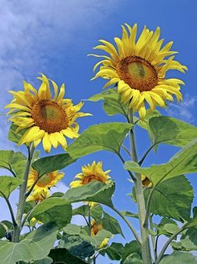 Sunflowers (Helianthus Sp.) by Carlos Dominguez