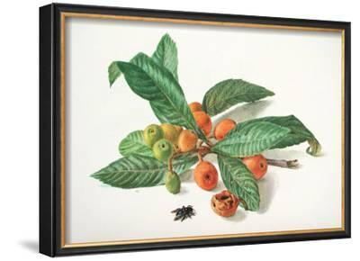 Medlar and Fruit
