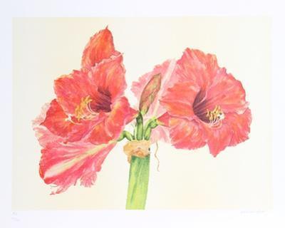 Amaryllis by Carol Ann Bolt