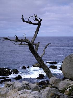 Scraggly Cypress Tree on the Central California Coast by Carol Highsmith