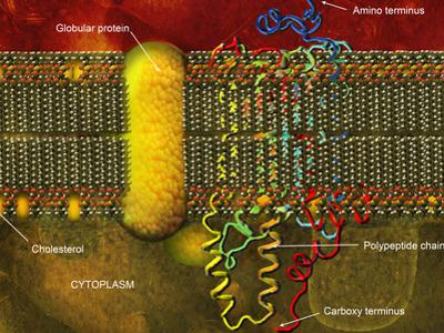 Biomedical Illustration of the Lipid Bilayer Cell Membrane by Carol & Mike Werner