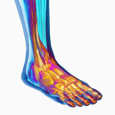 Human Ankle Showing Bones and Muscles