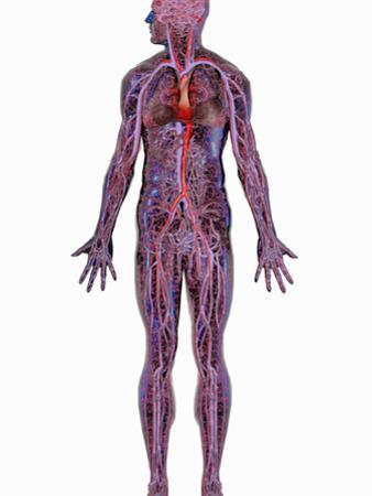 Human Cardiovascular System by Carol & Mike Werner