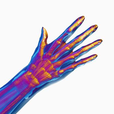 Human Hand Showing Bones and Muscles by Carol & Mike Werner