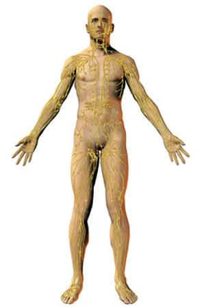 Human Male Figure Showing the Lymphatic System by Carol & Mike Werner