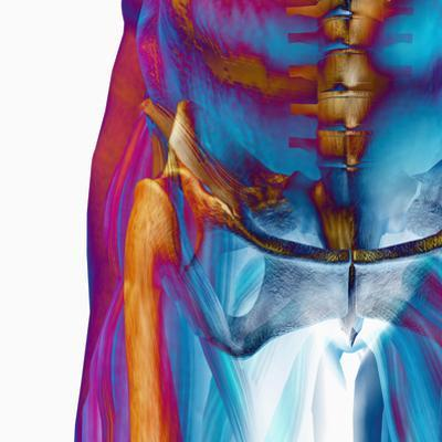 Human Male Hip Showing Bones and Muscles by Carol & Mike Werner