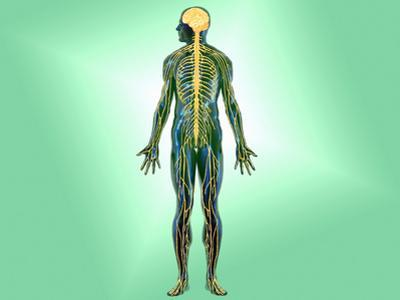 Illustration of the Nervous System in the Human Body