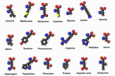 Molecular Models of Amino Acids Amino Acids are Critical to Life and Have Many Functions by Carol & Mike Werner