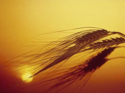 Shaft of Barley