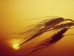 Shaft of Barley by Carol & Mike Werner