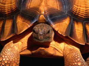 Angonoka or Ploughshare Tortoise, Madagascar by Carol Polich