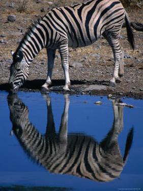 Burchell's Zebra Drinking at Water-Hole, Etosha National Park, Kunene, Namibia by Carol Polich