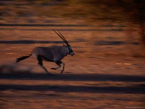 Gemsbok or South African Oryx on the Run, Kgalagadi Transfrontier Park, Northern Cape, South Africa by Carol Polich