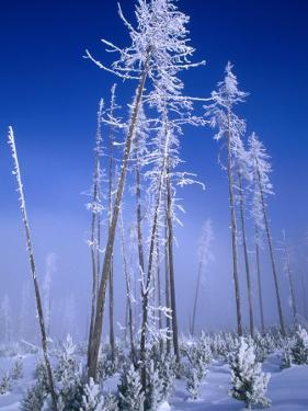 Hoarfrosted Trees, Yellowstone National Park, Wyoming, USA by Carol Polich