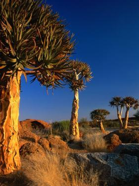 Quiver Trees, Namaqualand, South Africa by Carol Polich
