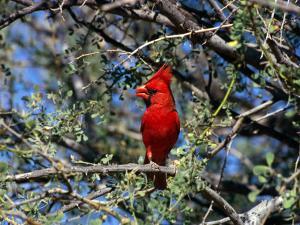 Red Cardinal in Arizona by Carol Polich