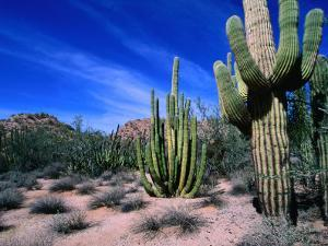 Saguaro Forest, Organ Pipe Cactus National Monument in the Sonoran Desert, Arizona, USA by Carol Polich