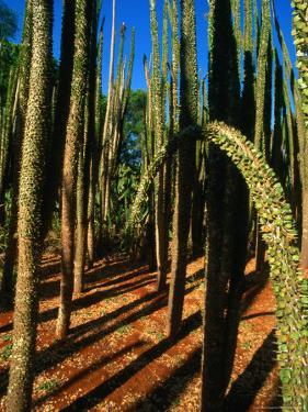 Spiny Forest in the Berenty Reserve, Berenty,Toliara, Madagascar by Carol Polich