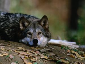 Wolf (Canis Lupus) Lying Down, USA by Carol Polich