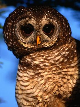 Wood Owl, South Africa by Carol Polich
