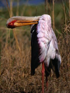 Yellow-Billed Stork, Kruger National Park, Kruger National Park, Mpumalanga, South Africa by Carol Polich