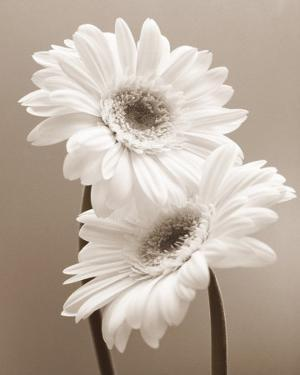 Two Daisies by Carol Sharp