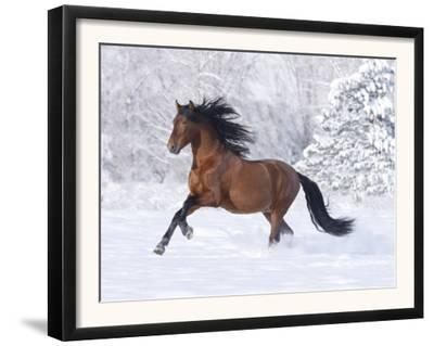Bay Andalusian Stallion Running in the Snow, Berthoud, Colorado, USA by Carol Walker