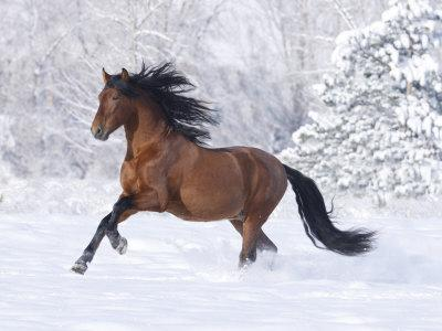 Bay Andalusian Stallion Running in the Snow, Berthoud, Colorado, USA