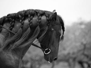 Bay Andalusian Stallion, with Plaited Mane and Bridle, Austin Texas, USA by Carol Walker