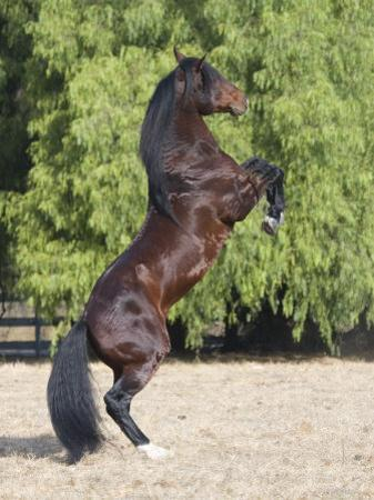 Bay Azteca (Half Andalusian Half Quarter Horse) Stallion Rearing on Hind Legs, Ojai, California by Carol Walker