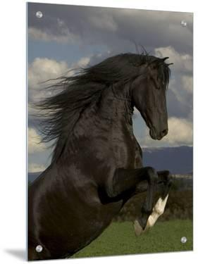 Black Peruvian Paso Stallion Rearing, Sante Fe, NM, USA by Carol Walker