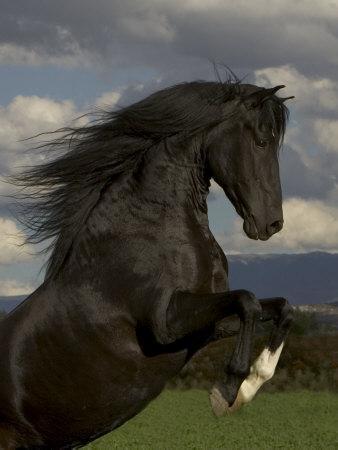 Black Peruvian Paso Stallion Rearing, Sante Fe, NM, USA