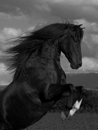 Black Peruvian Paso Stallion Rearing, Sante Fe, NM, USA