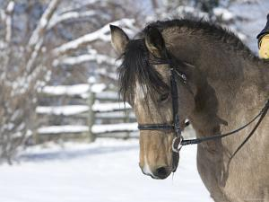 Buckskin Morgan Mare Head, Longmont, Colorado, USA by Carol Walker