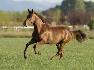 Chestnut Mare Running in Paddock, Longmont, Colorado, USA by Carol Walker