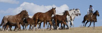 Cowboy Herding Quarter Horse Mares and Foals, Flitner Ranch, Shell, Wyoming, USA