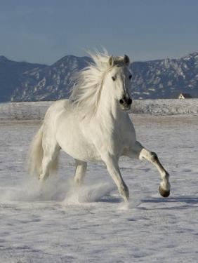 Gray Andalusian Stallion, Cantering in Snow, Longmont, Colorado, USA by Carol Walker