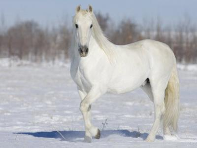 Grey Andalusian Stallion Portrait in Snow, Longmont, Colorado, USA by Carol Walker