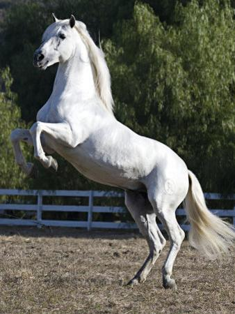 Grey Andalusian Stallion Rearing on Hind Legs, Ojai, California, USA by Carol Walker