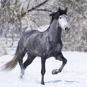 Grey Andalusian Stallion Running in Snow, Berthoud, Colorado, USA by Carol Walker
