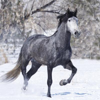 Grey Andalusian Stallion Running in Snow, Berthoud, Colorado, USA by Carol Walker