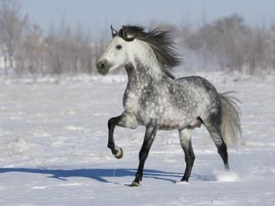 Grey Andalusian Stallion Trotting in Snow, Longmont, Colorado, USA by Carol Walker
